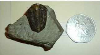 A trilobite known as a Calymene or 'Dudley Bug'